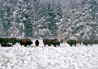 Buffalo Herd in Snow. Yellowstone National Park, 1978