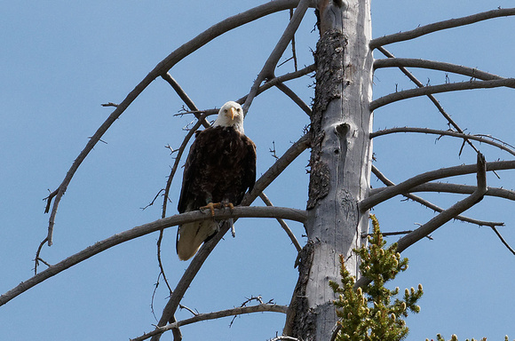 Bald Eagle. Grand Teton National Park 2013
